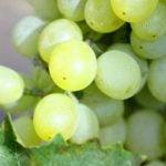 Nemea Weinregion
