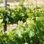 Stellenbosch Weinregion